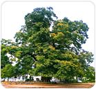 교목 : 느티나무 사진
